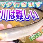 2020 鮎友釣り 19 まだマダ行きます 仁淀川は難しい 前半