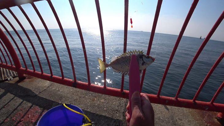 【平磯海釣り公園】アイゴを刺身にして食べたら、衝撃の!?前編。