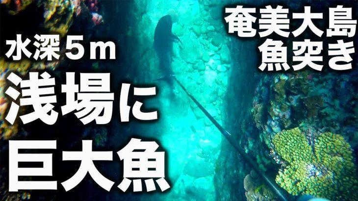 【魚突き】浅い珊瑚礁で素潜りしていたらとんでもない巨大魚と遭遇した!(ホンフエダイ・ロウニンアジ)IN 奄美大島