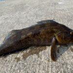 【宮城県】アイナメを釣るために穴釣りしてきた!【爆釣】