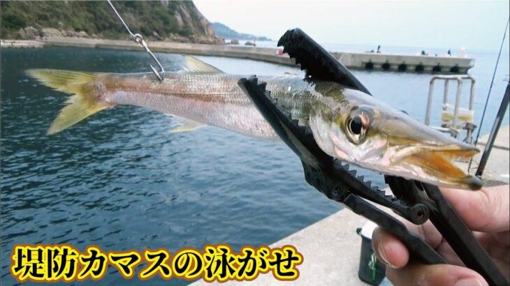 堤防からカマスの泳がせ釣りをしていたら止めどなく大きな魚が大漁にきた驚き映像