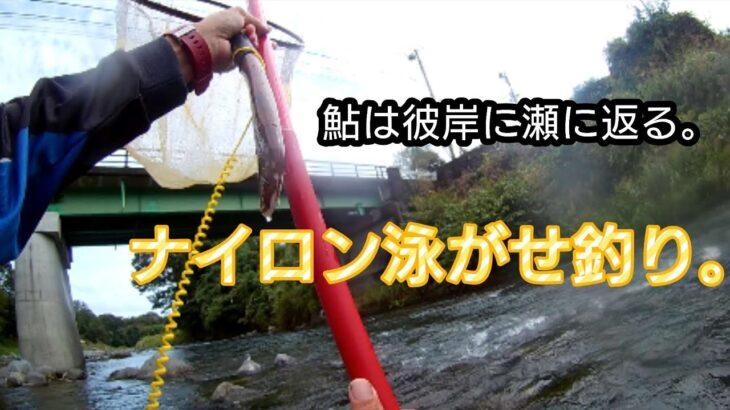 【鮎釣り】【友釣り】秋の狩野川。ナイロン泳がせ狩野川釣法!?