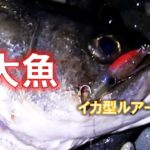 イカ型ルアーにとんでもない巨大魚が喰らいついてきたっ!!