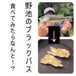 【ブラックバス食べたらなんと…!?】野池のブラックバスを焼いて食べたらどんな味!?