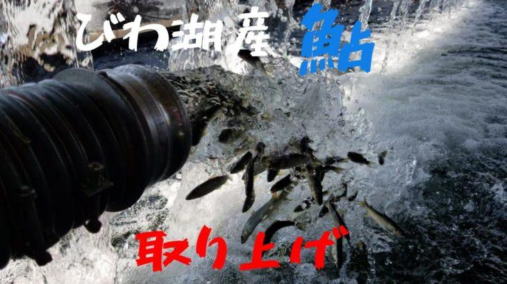 琵琶湖産鮎の取り上げ
