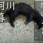 【鮎釣り】鮎が足りない、朝に友カンを開けると・・・那珂川日暮で鮎釣り