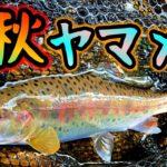 【渓流ルアー】ヤマメの川でめっちゃ赤いの釣れた!