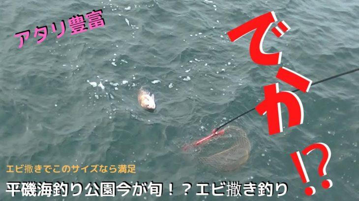 #161【エビ撒き】エビで鯛を釣る?!久々平磯海釣り公園で エビ撒き釣り