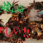 【夜磯探検隊】夜の磯は別世界!!石鯛釣りの餌、カニを捕りに行こう‼ #32