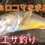 【源流釣り】オショロコマを求めて!渓流エサ釣り!