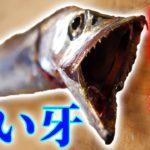 鋭い牙を持つ魚がキレイな料理に大変身!