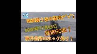 #ホッケ#抱卵#浮き釣り#磯釣り 激ホッケ釣り第三段!!! 2020年11月29日、積丹某所にて👍