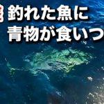 【衝撃】メジナ釣りの最中に釣れた魚が巨大な青物に襲われた