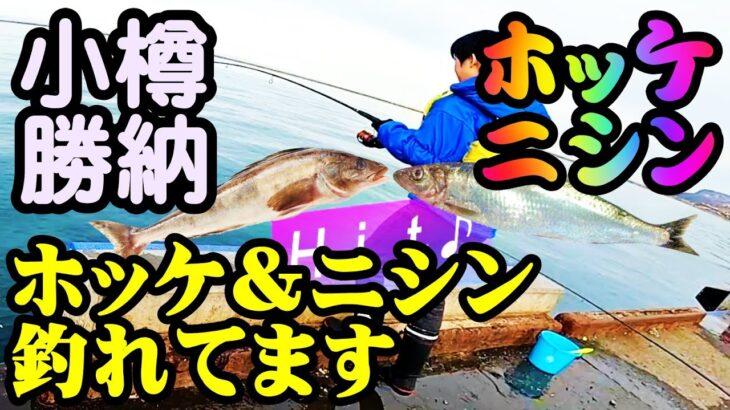 【釣り】北海道小樽ホッケ・ニシン・カレイ(勝納埠頭)釣れてます(石狩も) 投げ釣り・ジグ投げサビキ・堤防釣り: Atka mackerel, herring throw fishing, Sabiki