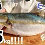 堤防から釣れた巨大ヒラマサ(?)を捌いて食べたい!(Day-42)