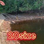 団地の池で大物ブラックバスが大量に釣れる!?
