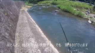 令和の釣り道楽 2021年6月20日 鮎釣り 日田市某所 納竿前にルアー状態