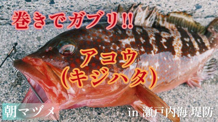 俺の釣り by HHF 巻きでガブリ‼︎ アコウ(キジハタ) 朝マヅメ in 瀬戸内海 堤防