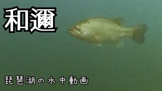 琵琶湖 水中動画 和邇 のブラックバス は 意外な場所にいた #琵琶湖 #バス釣り #水中動画