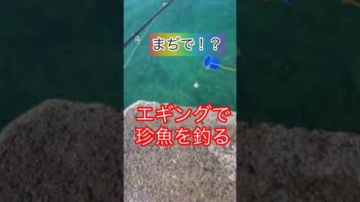 【エギング】エギング初心者がとんでもない珍魚を釣る。 エギに引っかかった珍魚とは? #ハプニング !? #shorts