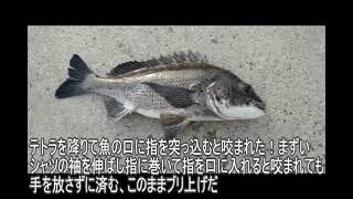 誕生日前に水産学校の堤防にキス釣りに行き、思いもしなかった大物が釣れたチヌ42㎝の大物