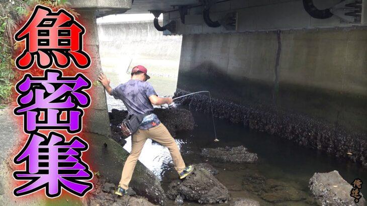 大減水した川で唯一残された魚密集スポットに…